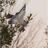 New York Fort Edward Barred Owl 5 February 2021