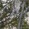 New York Fort Edward Barred Owl 10 February 2021