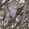 New York Fort Edward Barred Owl 12 February 2021