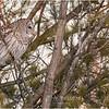 New York Fort Edward Barred Owl 21 February 2021