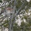 New York Fort Edward Barred Owl 7 February 2021