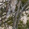 New York Fort Edward Barred Owl 9 February 2021