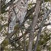 New York Fort Edward Barred Owl 11 February 2021