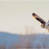 New York Fort Edward Short Eared Owl 5 February 2021
