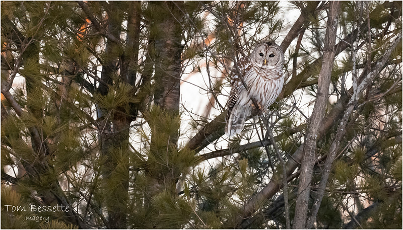 New York Fort Edward Barred Owl 1 February 2021