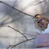 New York Delmar Backyard3 White Throated Sparrow 1 January 2021