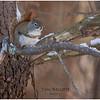 New York Delmar Backyard3 Red Squirrel 2 January 2021