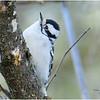 New York Delmar Backyard3 Downy Woodpecker 2 January 2021