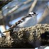 New York Delmar Backyard3 Downy Woodpecker 1 January 2021