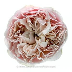 Complex Rose