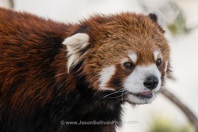 Serious Panda