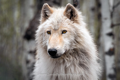 Interested Wolf