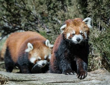 Follow the Panda