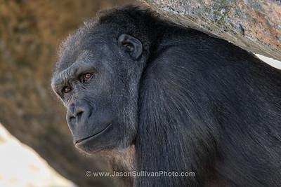 Ape Contemplation