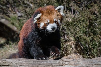 Panda Prowling