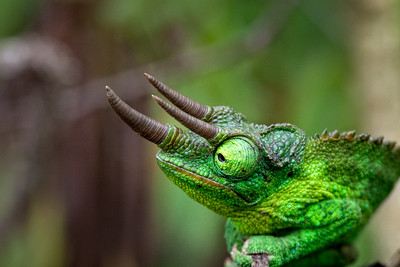 East African Great Rift Chameleon