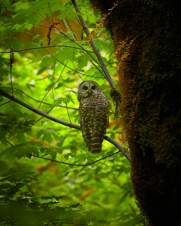 Barred Owl in Olympic National Park