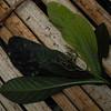 SAJ1461 Pisonia longirostris
