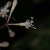 SAJ0138 Pisonia umbellifera