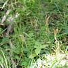 2010-063 Pterostylis papuana