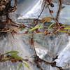 2010-009 Bulbophyllum posticum