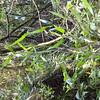 2010-050 Bulbophyllum fruticicola