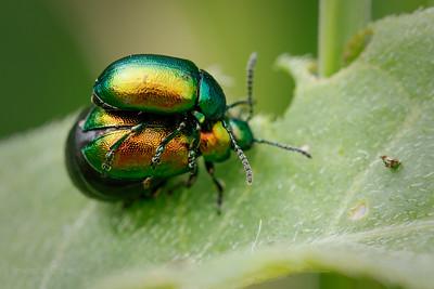 Green dock beetle