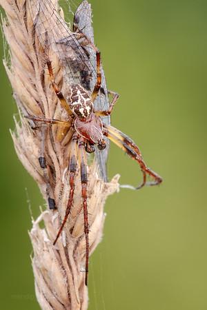 Bankside Spider