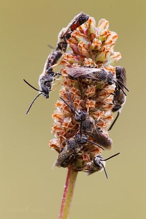 Halictid Bees