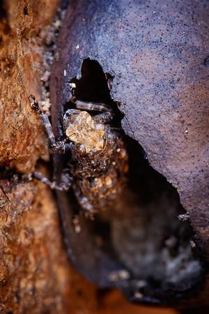 Cramp-Ball Fungus Weevil