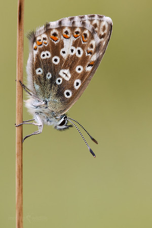 Chalkhill Blue - (female)