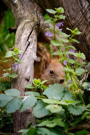 European Red Squirrel