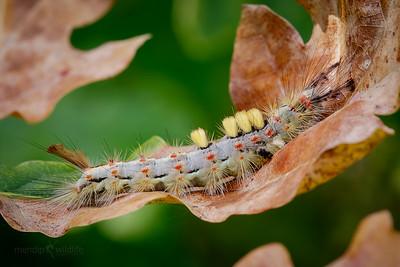 Vapourer Moth
