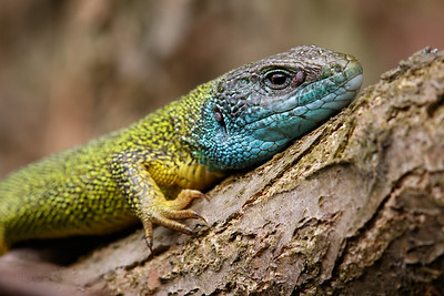 Eastern Green Lizard