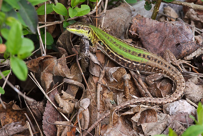 Italian Wall Lizard - (female)