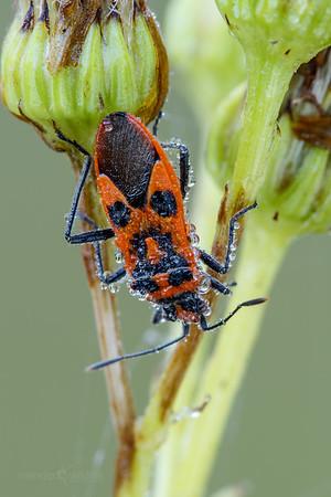 Rhopalid bug