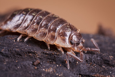 Woodlouse
