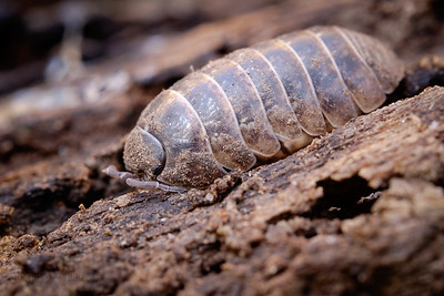 Common Pill Woodlouse