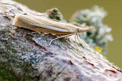 Grass Veneer moth