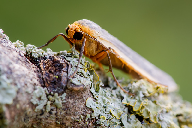 Common Footman