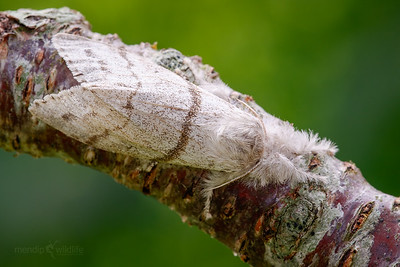 Pale Tussock (female)
