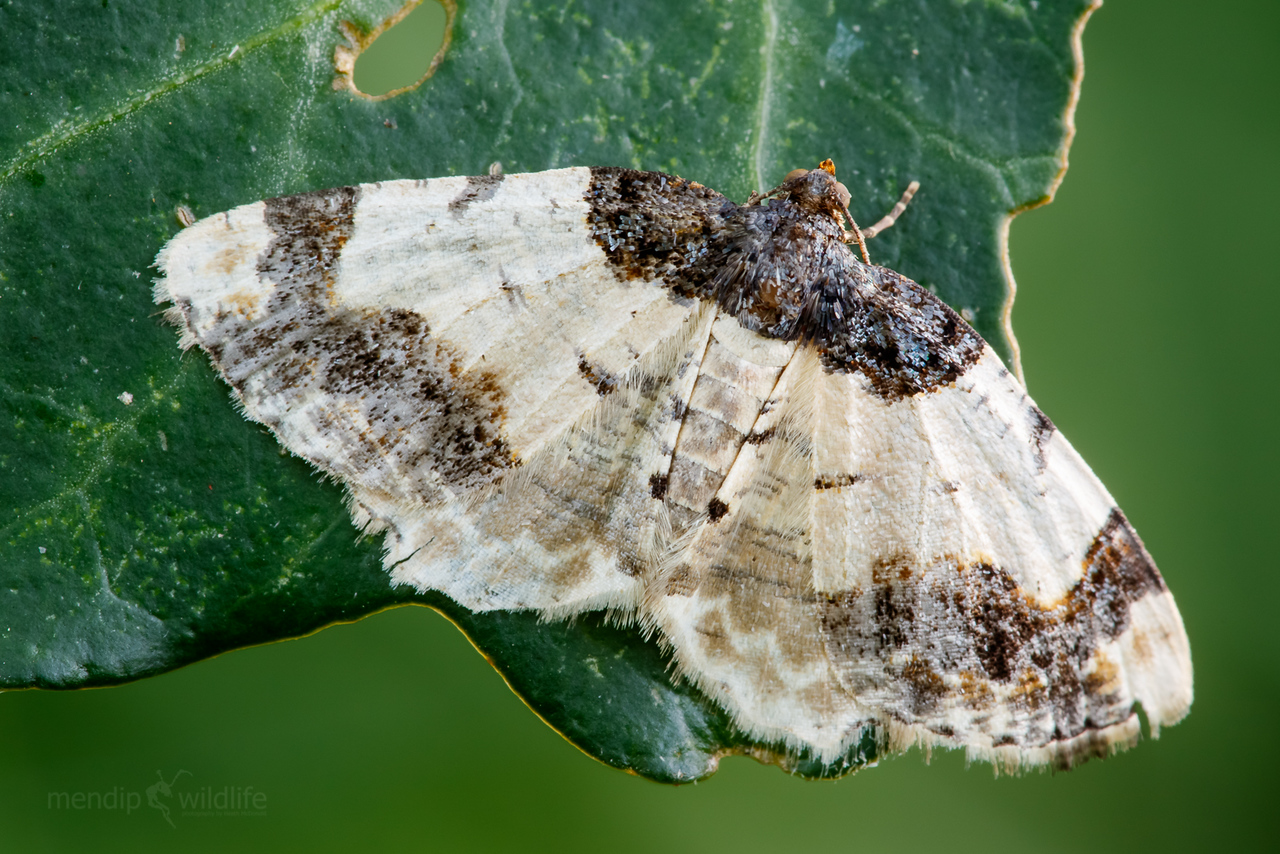Scorched Carpet Moth