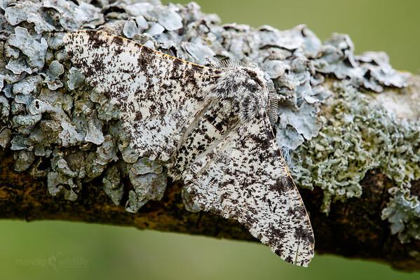 Peppered moth