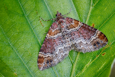 Dark-barred Twin Spot Carpet