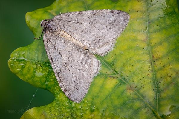 November Moth agg.