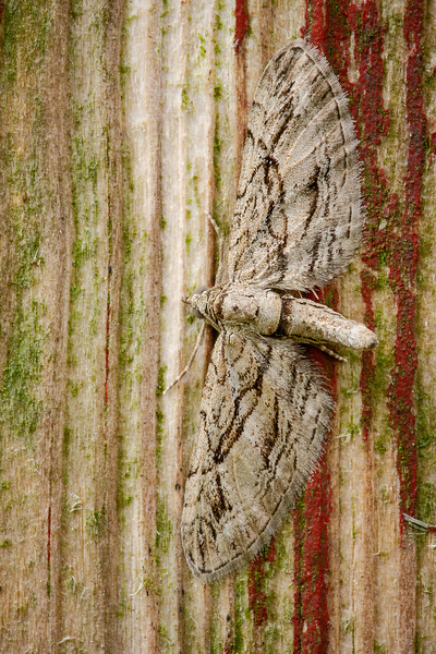 Cypress Pug