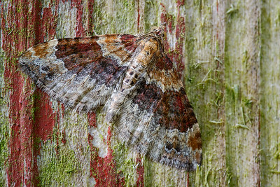 Red Twin-spot Carpet