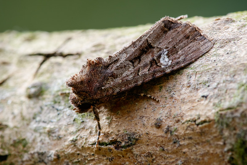 Common Rustic agg