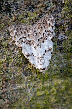 Least Black Arches