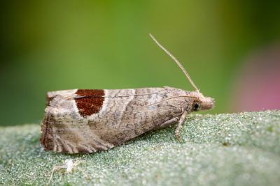 Bramble Shoot Moth